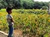 古林公园向日葵展